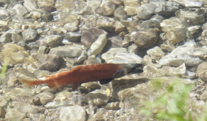 Kokanee Salmon, location unspecified, Sept. 23, 2010 | Photo courtesy of Ron Stewart, Utah Division of Wildlife Resources, St. George News