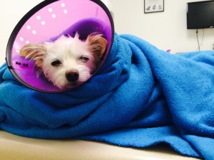 Roxie, a small terrier mix, recovers at a local animal hospital after being hit by a car, location not specified, Sept. 25, 2015 | Photo courtesy of Andelynn Hofer, St. George News
