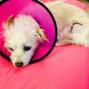 Roxie, a small terrier mix, recovers after being hit by a car, date and location not specified | Photo courtesy of Andelynn Hofer, St. George News