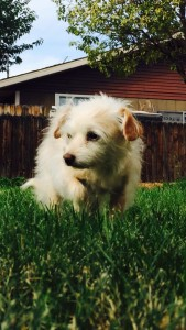 Roxie, a small terrier mix, plays in a backyard, Santa Clara, Utah, date not specified | Photo courtesy of Andelynn Hofer, St. George News