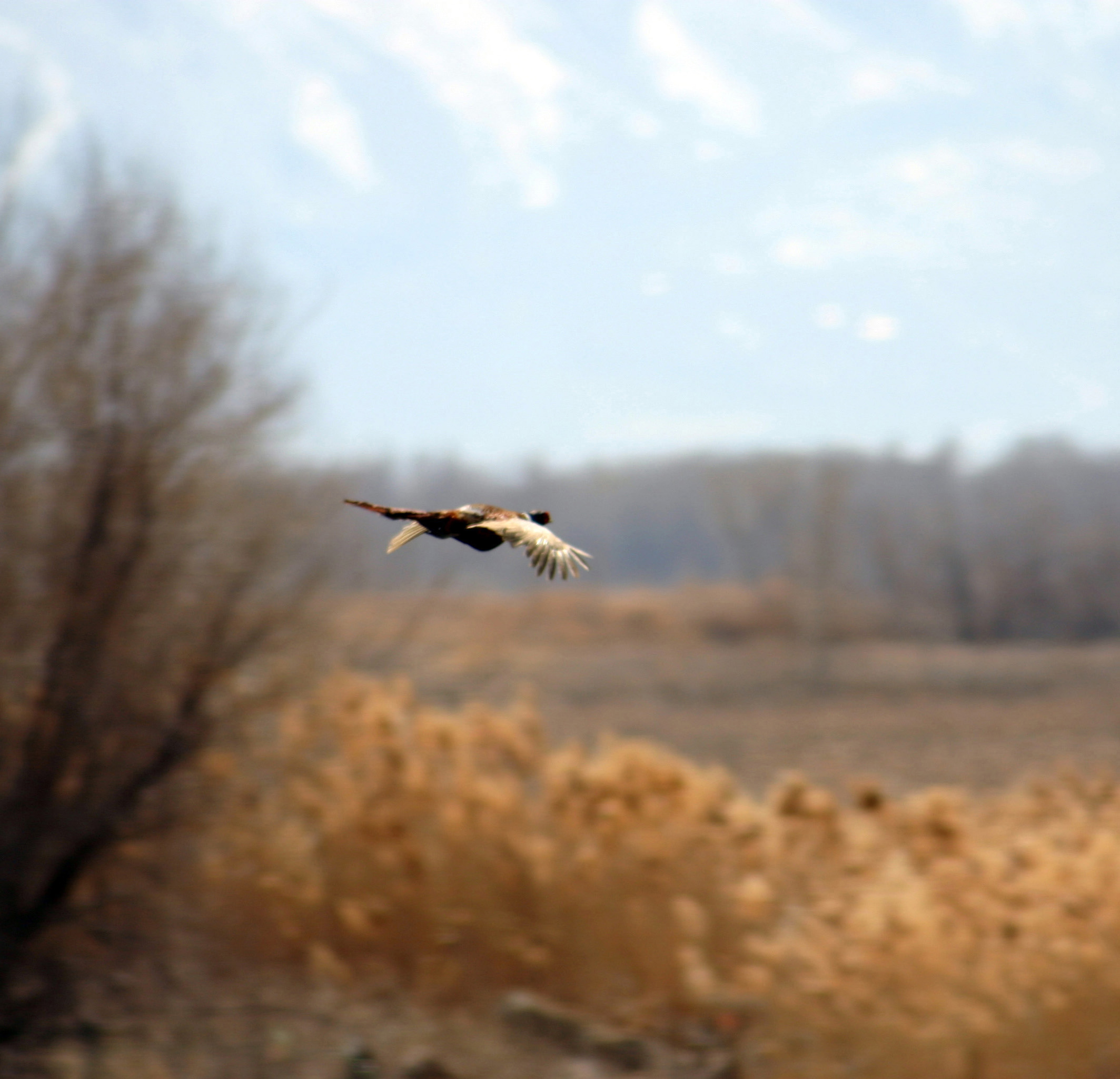 Beautiful pheasant flies through the air, location and date unspecified | Photo by Scott Root, Department of Wildlife Resources, St. George News