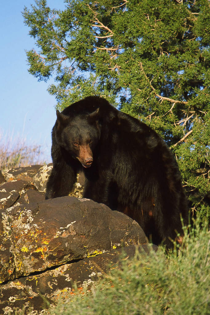 Black Bear Utah StGeorgeNews