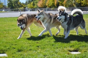 Dogs play at Dog Play Dates of Cedar City meetup group, City 4th 14th Ward of The Church of Jesus Christ of Latter-day Saints, Cedar City, Utah, fall 2015 | Photo by Mandy Robinson courtesy of Courtney Sullivan, St. George News