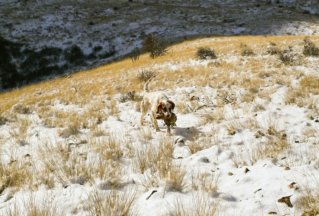 A dog hunts chukars, location and date unspecified | Photo courtesy of Bret Wonnacott, Utah Chukar and Wildlife Foundation, St. George News
