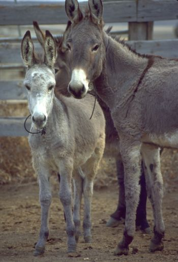 Burros, location and date not specified | Photo courtesy of BLM, St. George News