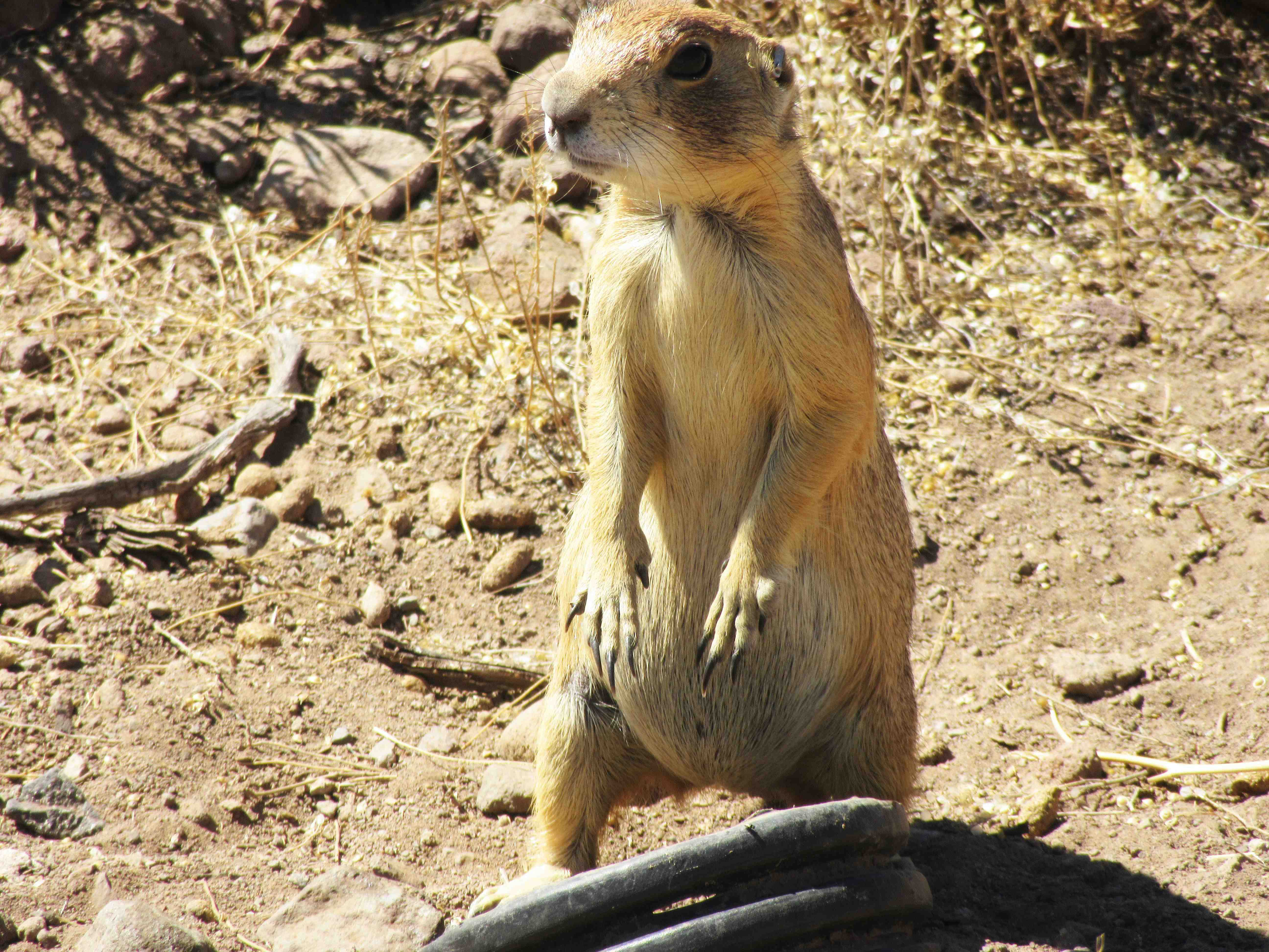 Utah prairie dogs this summer being relocated by the Division of Wildlife Resources, location and date unspecified | Photo by Melissa Wagner, St. George News