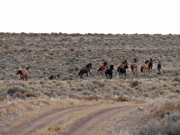 This photo shows horses running free at Trap Site No. 2 in a previous wild horse gather by the Bureau of Land Management in the Sulphur Herd Management Area located in Beaver, Millard and Iron counties, Utah, circa 2010-11 per BLM Web page | Photo courtesy of BLM, St. George News
