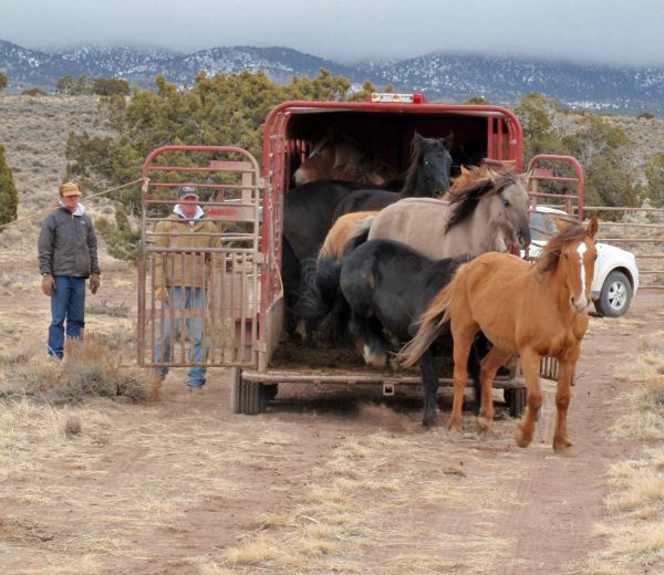 This photo shows horses being released at Trap Site No. 2 in a previous wild horse gather by the Bureau of Land Management in the Sulphur Herd Management Area located in Beaver, Millard and Iron counties, Utah, circa 2010-11 per BLM Web page | Photo courtesy of BLM, St. George News