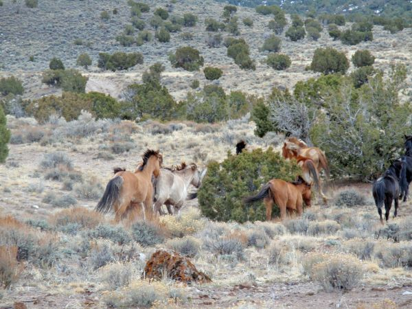 This photo shows horses released at Trap Site No. 1 in a previous wild horse gather by the Bureau of Land Management in the Sulphur Herd Management Area located in Beaver, Millard and Iron counties, Utah, circa 2010-11 per BLM Web page | Photo courtesy of BLM, St. George News