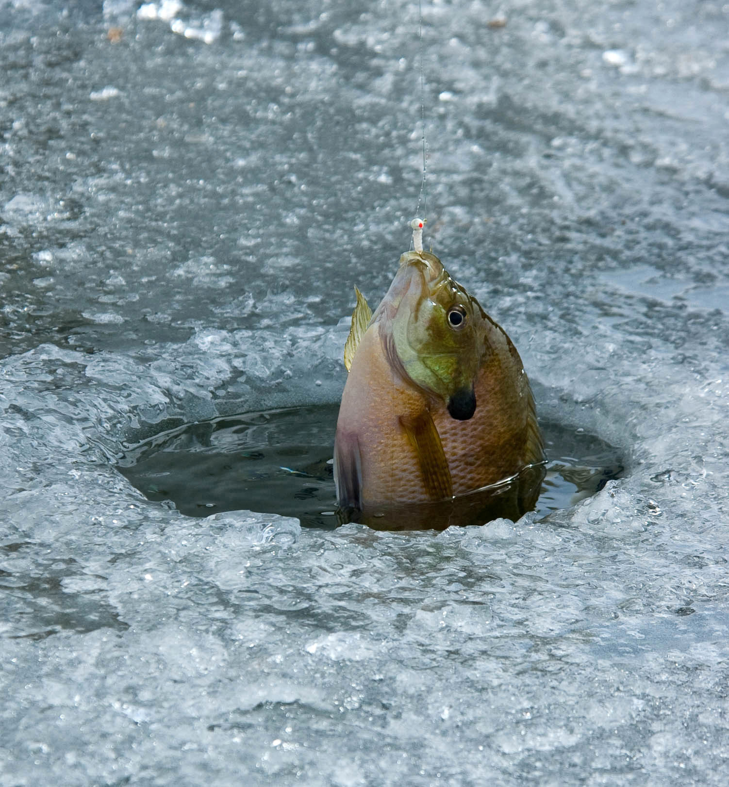 Find right depth to catch fish through ice southern utah for Bluegill fishing bait