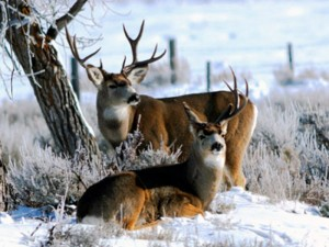 Don't feed deer in the winter. Feeding deer can actually harm the animals, location and time unspecified | Photo by Ron Stewart, courtesy of the Utah Division of Wildlife Resources, St. George News