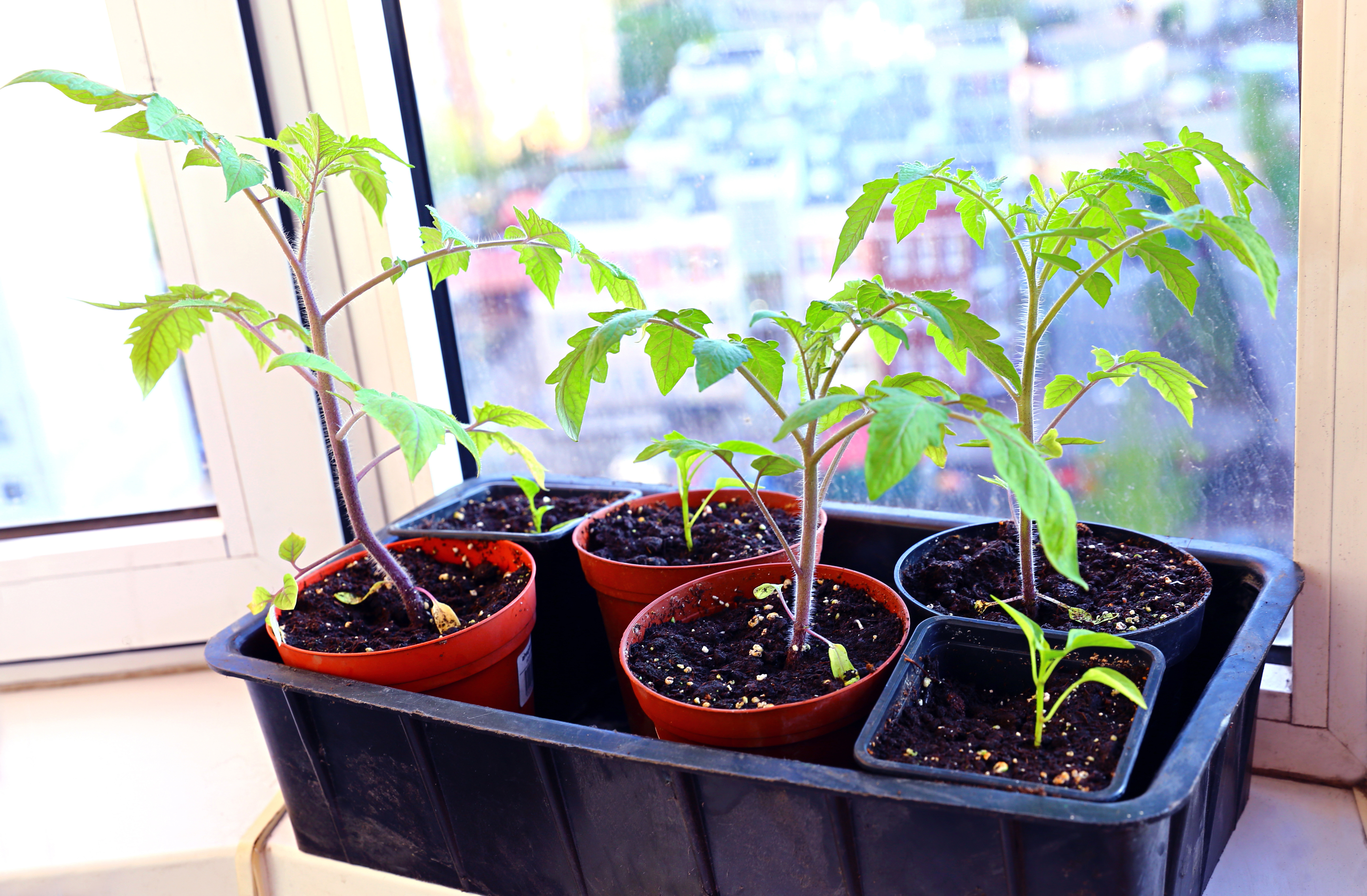 Tomato seedlings in pots on window | Stock image, St. George News