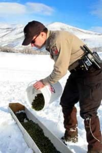 A DWR conservation officer pours food into a trough as part of an emergency feeding situation in northern Utah, date unspecified | Photo courtesy of the Utah Division of Wildlife Resources, St. George News