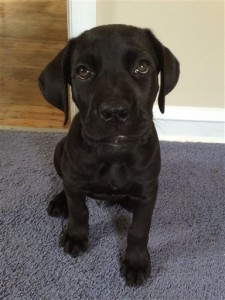 This photo provided by Michael Ehrlich shows his 6-month-old Cane Coro named Jasper at home in Philadelphia. The puppy swallowed two large plastic balls, which remained lodged in his stomach probably for a few weeks, according to Ehrlich. They were surgically retrieved Dec. 26, 2015, and within a few days Jasper was already back on his feet. Photo by Michael Ehrlich via AP, St. George News