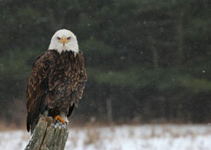 A stern looking Bald Eagle (haliaeetus leucocephalus) perched on a post looking directly at the camera, with snow falling in the background.