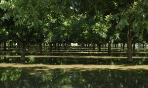 Pecan trees, stock photo, St. George News
