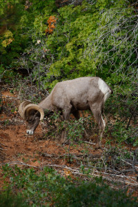 Desert bighorn sheep are thriving in Zion National Park, Utah, date not specified | Photo courtesy of Lynn Chamberlain, St. George News
