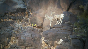 Two of the three desert bighorn sheep that were euthanized in Hurricane Saturday. The wandering sheep were put down to prevent disease from spreading to the large and thriving bighorn sheep population in and around Zion National Park, Hurricane, Utah, Feb. 27, 2016 | Photo courtesy of Utah Division of Wildlife Resources, St. George News