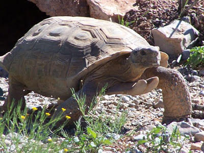 Tank, desert tortoise| Photo courtesy of Red Cliffs Desert Reserve, St. George News