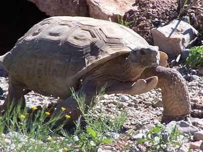 Tank, desert tortoise| Photo courtesy of Red Cliffs Desert Reserve, St. George News