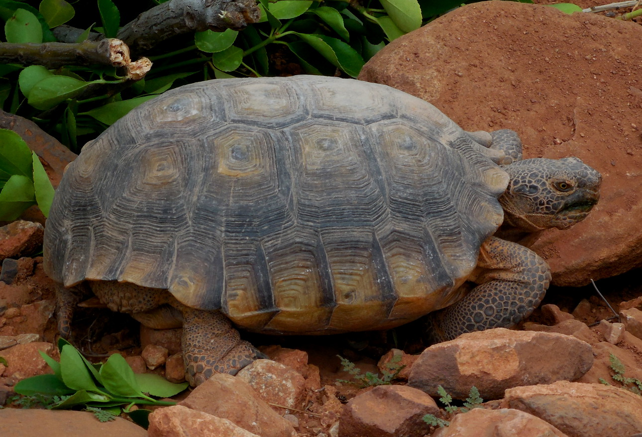 A Mohave desert tortoise, Santa Clara, Utah, March 5, 2016 | Photo by Julie Applegate, St. George News