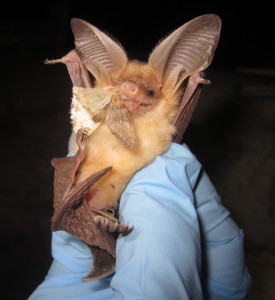 A pallid bat is fed a moth after being caught and given a health checkup as part of a study of the bat population in the Grand Canyon-Parashant National Monument | Photo courtesy Diana Northrup, St. George News