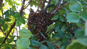 A swarm of honey bees gave an local family some unexpected excitement on Saturday night in Ivins, Utah, April 2, 2016 | Photo by Don Gilman, St. George News