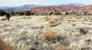 A field of dry non-native grasses in the Red Cliffs National Conservation Area, date not specified | Photo courtesy of Bureau of Land Management, St. George News