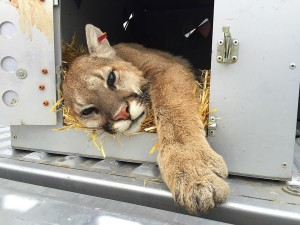 A mountain lion was tranquilized and relocated after it invaded the window well of a Green Springs home on the 700 block of West Morby Street, in Washington, Utah, April 25, 2016 | Photo by Kimberly Scott, St. George News