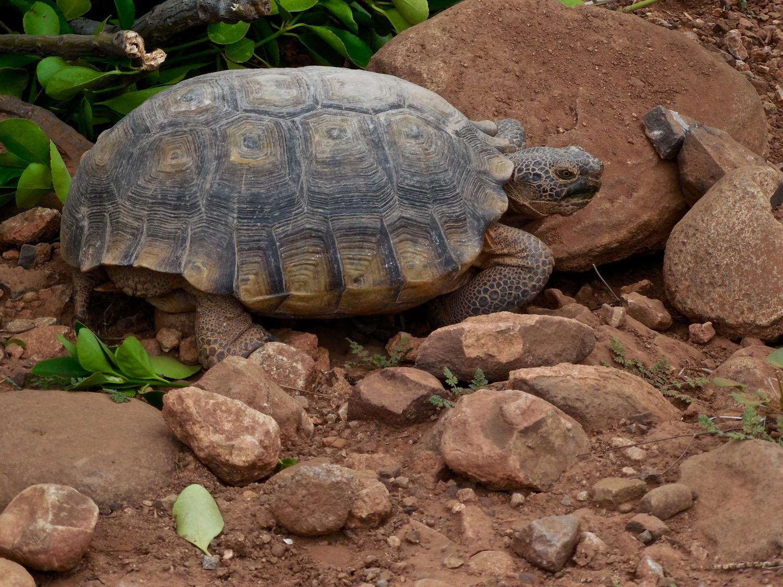Desert tortoise, Santa Clara, Utah, March 5, 2016 | Photo by Julie Applegate, St. George News