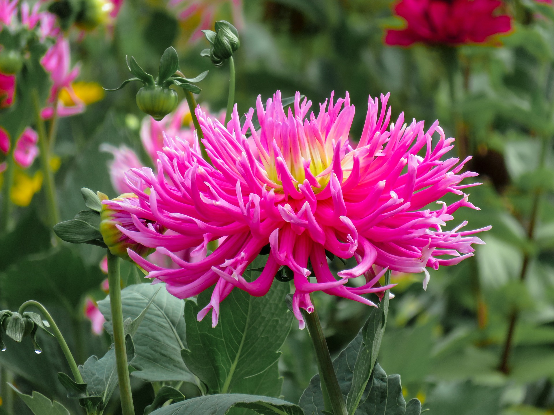 Dahlias in a garden | Stock image, St. George News