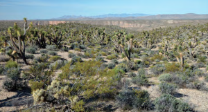 Healthy Joshua tree and blackbrush community, date and location not specified | Photo courtesy Bureau of Land Management, St. George News