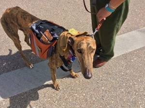 A greyhound named Simon carries National Park Service brochures during a parade in Kanab, Utah. May 14, 2016 | Photo by Cami Cox Jim, St. George News