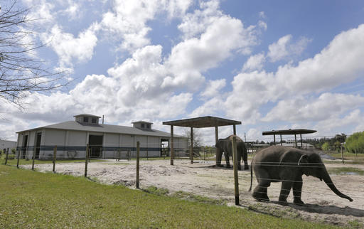 In this March 2015, file photo, elephants Mike, right, and Angelica walk in their pen at the Ringling Bros. and Barnum & Bailey Center for Elephant Conservation, in Polk City, Florida, March 3, 2015 | AP Photo by Chris O'Meara; St. George News