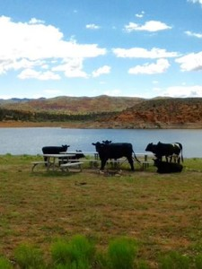 Cows gather around a picnic table at Gunlock Reservoir, Gunlock, Utah, date not specified | Photo courtesy of Sand Hollow State Park Complex, St. George News