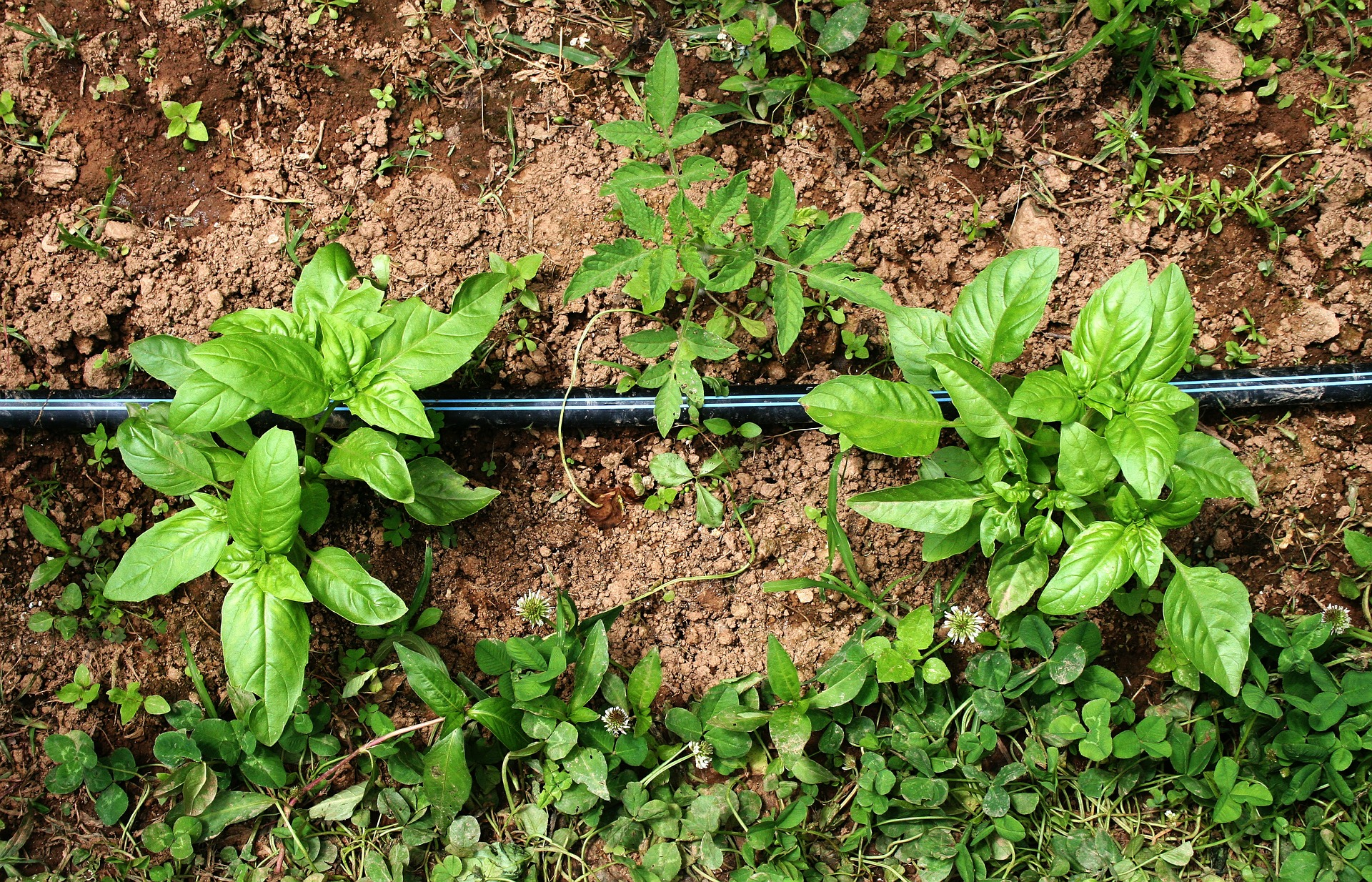 Basil with irrigation system | St. George News
