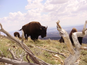 American bison in the Henry Mountains of Southern Utah, date unspecified | Photo courtesy of Dustin Ranglack, St. George News