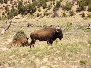 A bison from the genetically pure Henry Mountains herd in Southern Utah, date unspecified | Photo courtesy of Dustin Ranglack, St. George News