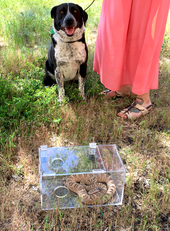 Utah's Rattlesnake Avoidance uses snake skins for scent and a live rattlesnake in a plexi-glass cage with mesh windows for training, date and location not specified | Photo courtesy of Utah's Rattlesnake Avoidance, St. George News