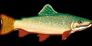 rainbow trout-294469_1280