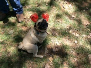 A patriotic pug smiles for the camera at the Colorado City/Hildale Independence Day celebration, Colorado City, Arizona, July 2, 2016 | Photo by Cami Cox Jim, St. George News