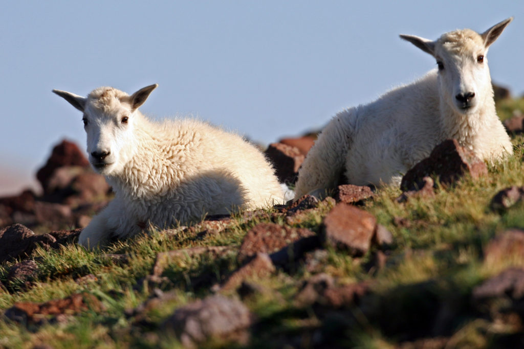 Mountain Goat lambs on the Tushar Mountains, Tushar Mountain, July 26, 2006 | Photo by Lynn Chamberlain, Utah Division of Wildlife Resources, St. George News, Cedar City News