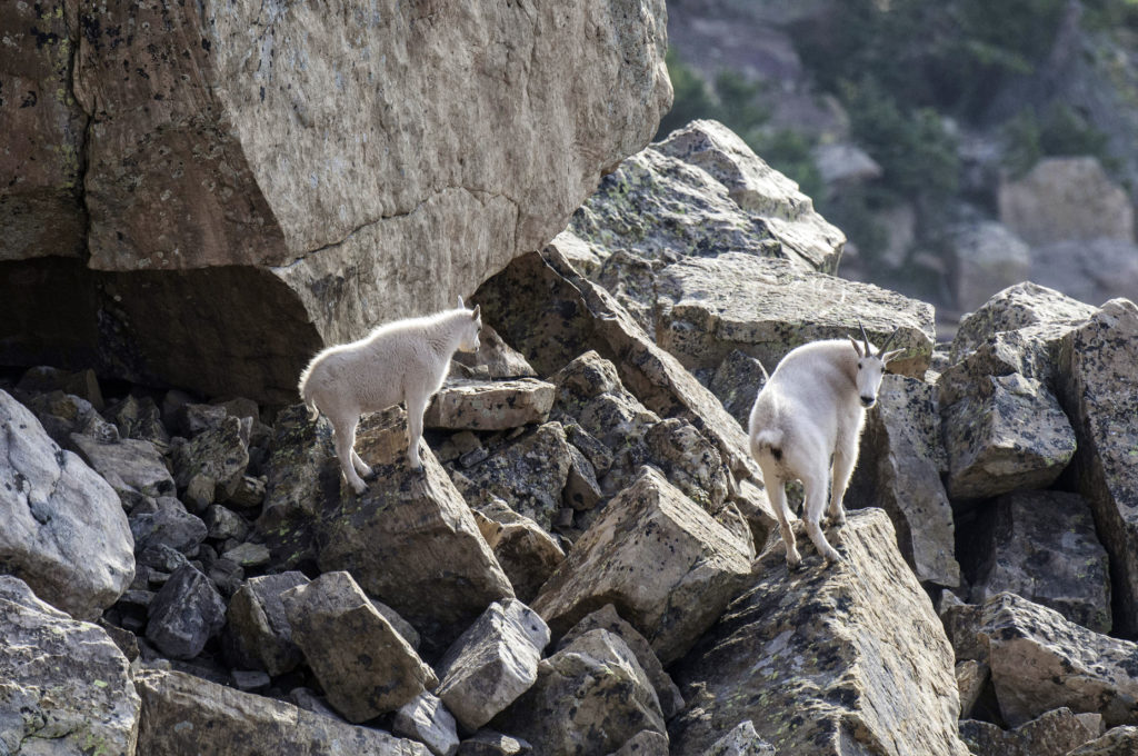 You can see mountain goats -- like these in northeastern Utah -- at the Aug. 6 event on Tushar Mountain, August 21, 2015 | Photo by Ron Stewart, Utah Division of Wildlife Resources, St. George News, Cedar City News