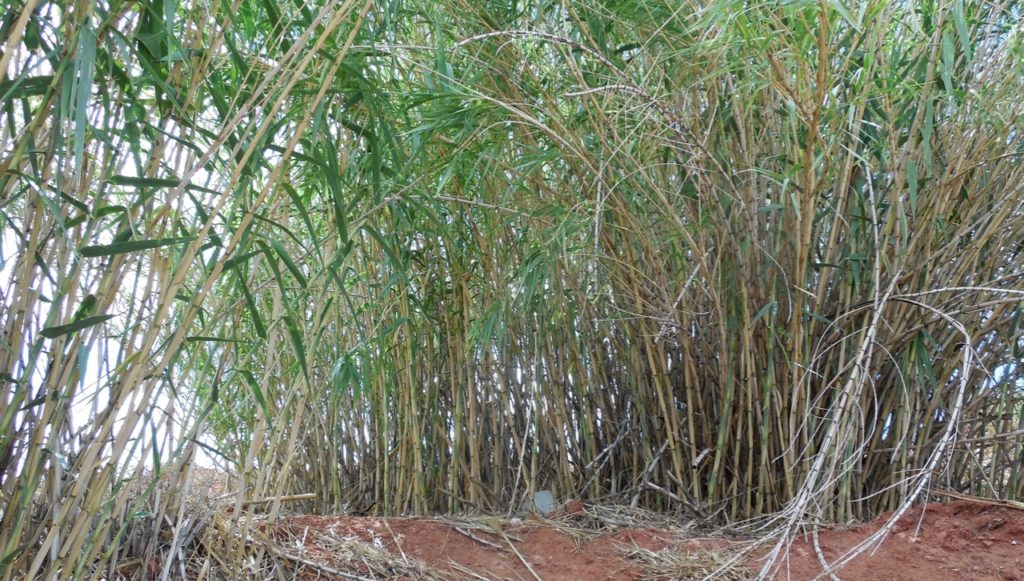 A Healthy Cer Of Arundo Plants Grows On Hillside The Northwest Corner Road And Red Hills Parkway In St George Utah Aug