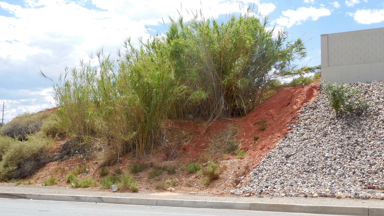 A healthy cluster of arundo plants grows on a hillside on the northwest corner of Industrial Road and Red Hills Parkway in St. George, Utah, Aug. 31, 2016 | Photo by Julie Applegate, St. George News