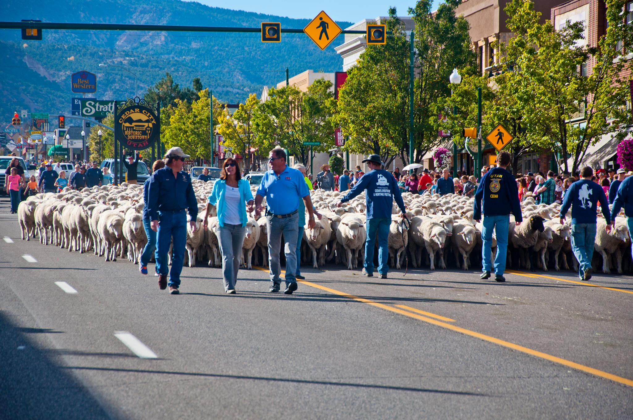 A flock of sheep travels down Cedar City's Main Street during a past Livestock Festival, date unspecified| photo courtesy of Sam El Halta, St. George News