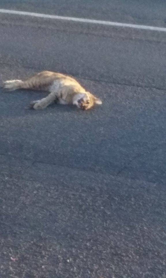 A dead bobcat is found in the road on Snow Canyon Parkway, St. George, Utah, Sept. 23, 2016 | Image courtesy of Tawny Holmquist, St. George News