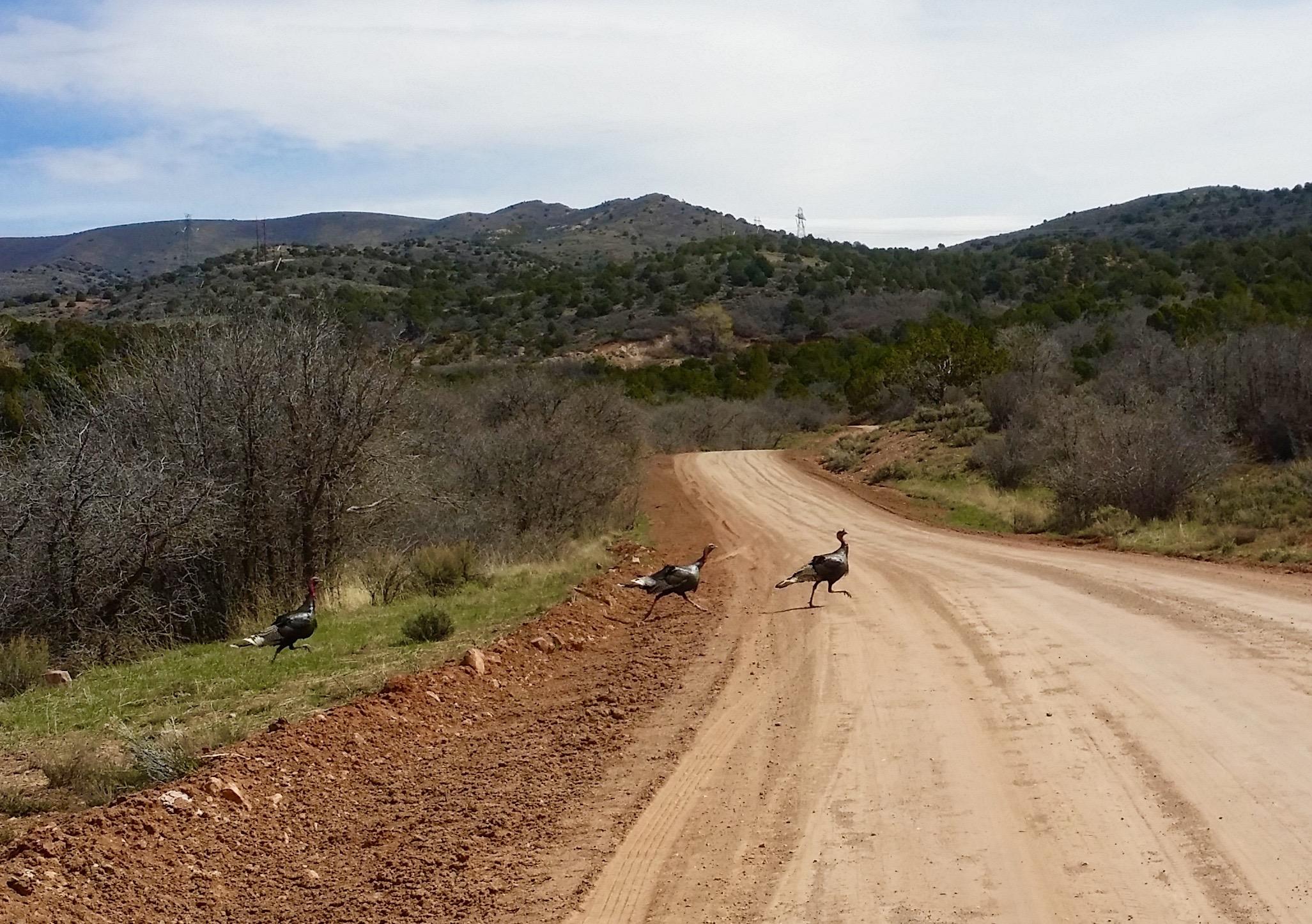 wild turkeys - Mountain Meadows - Joyce Kuzmanic - StGeorgeNews.com