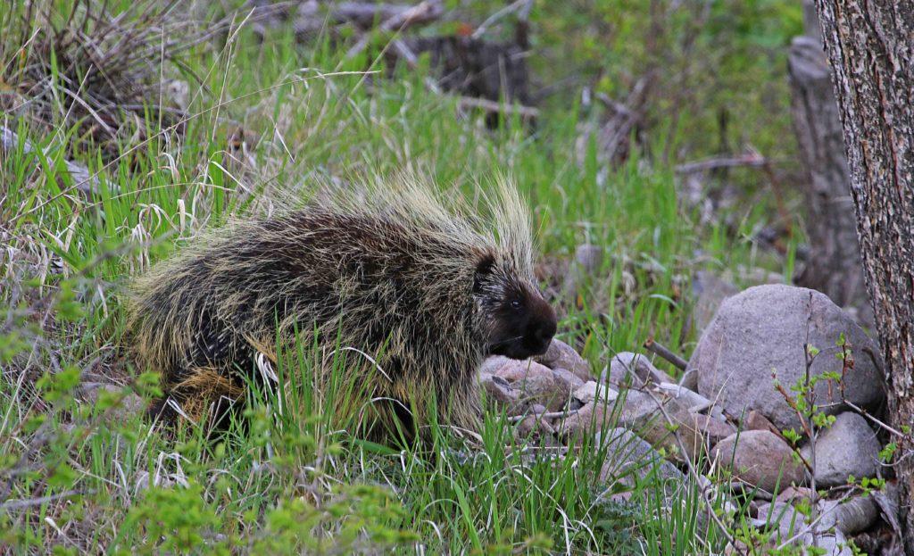 porcupine - Jim Shuler DWR - StGeorgeNews.com