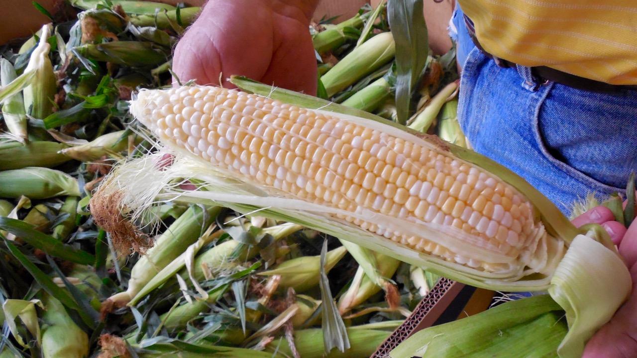 Lucious sweet-corn at Frei's Fruit Market, Santa Clara, Utah, Sept. 1, 2016 | Photo by Julie Applegate, St. George News